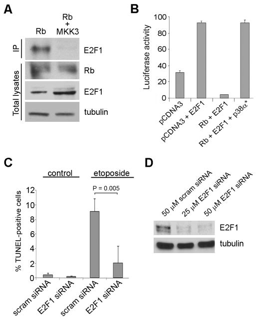 Phosphorylation of Rb by p38 leads to E2F1-mediated apoptosis. ( A ) Mel202 cells were transfected with Rb alone or with MKK3 for 48 h and immunoprecipitation for Rb was performed. The immunoprecipitation was immunoblotted for E2F1. Total lysates were immunoblotted for total Rb and E2F1. ( B ) An E2F1 promoter with three E2F-responsive repeats was used in a luciferase assay. Empty vector (pCDNA3), Rb, E2F1, and constitutively active p38α expression constructs were transfected into Mel202 cells. The star represents constitutively active p38α. ( C ) Scrambled or E2F1 siRNA was used at a final concentration of 50nM for 72 h in Mel501 cells. The cells were treated with 12.5 μM of etoposide for 48 h and TUNEL staining was performed. ( D ) Knock down of E2F1 by siRNA was confirmed in Mel501 cells. 50 nM of scrambled siRNA, 25 nM of E2F1 siRNA, or 50 nM of E2F1 siRNA were transfected for 72 h.