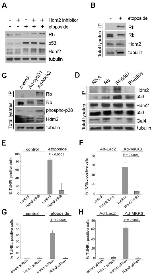 Phosphorylation of Rb on Ser567 by p38 enhances the Rb-Hdm2 interaction and leads to Hdm2-mediated apoptosis. ( A ) Mel202 cells were treated for 48 h with or without12.5 μM of etoposide. 50 μM of Hdm2 inhibitor was used in lane 2, 5 μM in lane 4, and 10 μM in lane 6. No Hdm2 inhibitor was used in Lanes 1 and 3. ( B ) Mel202 cells were treated with 12.5 μM etoposide for 48 h. Immunoprecipitation for endogenous Hdm2 was performed and samples were immunoblotted for endogenous Rb. Total lysates were immunoblotted for Rb and Hdm2. ( C ) Mel202 cells were treated with Ad-cycD1 or Ad-MKK3 at an MOI of 15 for 48 h, immunoprecipitated for endogenous Hdm2, and immunoblotted for endogenous total Rb. Total lysates were immunoblotted for Rb, phospho-p38, and Hdm2. ( D ) Mel202 cells were transfected with Gal4-tagged Rb constructs. Rb-A (the A domain of Rb, amino acids 379-572, serves as a negative control), Rb, RbΔ567, or RbΔ568. Cells were immunoprecipitated for Gal4 to pull down Rb, and immunoblotted for endogenous Hdm2 and endogenous p53. Total lysates were immunoblotted for Hdm2, p53, and Gal4. ( E ) Mel202 cells were treated with 10 μM Hdm2 inhibitor and 12.5 μM etoposide for 48 h and TUNEL staining was performed. ( F ) Mel202 cells were treated with 10 μM Hdm2 inhibitor for 72 h. Cells were treated Ad-LacZ or Ad-MKK3 at a MOI of 100 for 48 h and TUNEL staining was performed. (G) Mel202 cells were transfected with Hdm2 siRNA for 72 h and treated with 12.5 μM etoposide for 48 h and TUNEL staining was performed. ( H ) Mel202 cells were transfected with Hdm2 siRNA for 72 h and treated with Ad-LacZ or Ad-MKK3 at an MOI of 50 for 48 h and TUNEL staining was performed.