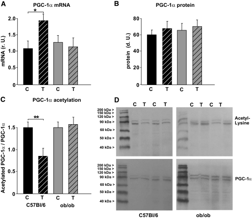 Changes in PGC-1α expression and acetylation after chronic exercise. A : Real-time PCR analyses of PGC-1 α mRNA expression in the skeletal muscle of C57BL/6J wild-type mice (black columns) and ob / ob mice (gray columns). All data are normalized per 18S rRNA. B : Densitometry of protein data. Homogenates of skeletal muscle were probed with an antibody detecting PGC-1α (90 kDa). Blots were also probed with GAPDH as a loading control. C : Densitometry of immunoprecipitation (IP) experiments performed on skeletal muscle lysates, using PGC-1α for precipitation and an antibody directed against acetyl-lysine or PGC-1α for detection. Data are given as acetylated PGC-1α per total PGC-1α in these samples. All data are means ± SEM. * P