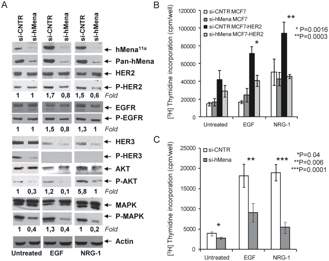 hMena knock-down affects HER2 signalling and inhibits the EGF/NRG1-mediated mitogenic effects in MCF7-HER2 cells. A. Western blot analysis of MCF7-HER2 breast cancer cell line after 72 h transfection with control and hMena/hMena 11a -specific siRNAs, untreated or treated with EGF (100 ng/ml) or NRG1 (10 ng/ml) for the last 24 h of transfection. hMena/hMena 11a expression (evaluated by pan-hMena and hMena 11a specific antibodies) and phosphorylation status of HER2, EGFR, HER3, AKT and MAPK (p44/42) from whole cell lysates were assessed. Membranes were sequentially stripped and reprobed with the indicated total and phospho-specific antibodies. Densitometric quantitation of anti-P-HER2, anti-P-AKT and anti-P-MAPK immunoreactivity was determined by Quantity One software (Biorad) and normalized in comparison with the Actin immunoreactivity. Densitometric quantitation of anti-P-HER3 immunoreactivity was not determined due to the fact that the total HER3 expression level is not unchanged following treatments. B–C. Silencing of hMena/hMena 11a reduces EGF and NRG1-mediated cell proliferation of HER2 overexpressing MCF7-HER2 (B) and MDA-MB-361 (C) cell lines, but has no significant effect in MCF7 cells (B). Proliferation assays were conducted 72 h after the siRNA transfection by measuring [3H]thymidine incorporation as described in Materials and Methods . Si-CNTR: MCF7, MCF7-HER2 and MDA-MB-361 cells transfected with non-targeting siRNA; Si-hMena: MCF7, MCF7-HER2 and MDA-MB-361 cells transfected with specific hMena/hMena 11a siRNA. Histograms represent the mean of three different experiments. Bars, Standard deviations. P , according to Student's t test (two tailed).