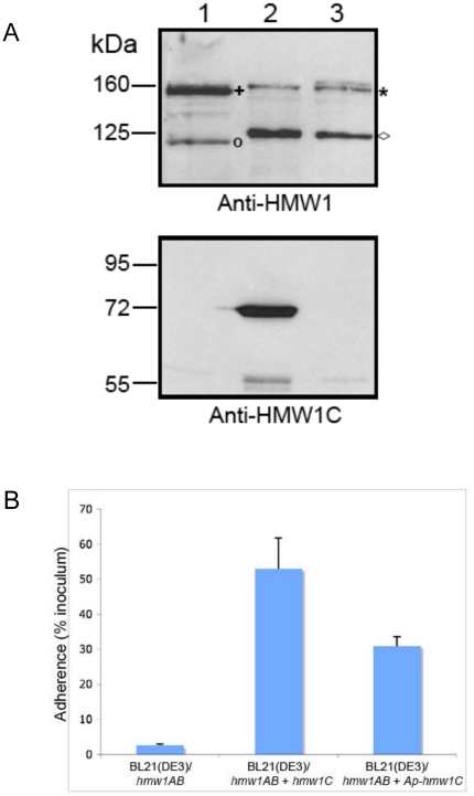 Ability of ApHMW1C to complement a deficiency in HMW1C. Panel A shows Western immunoblots of whole cell sonicates of E. coli BL21(DE3)/pACYC-HMW1ΔC (lane 1), E. coli BL21(DE3)/pACYC-HMW1ΔC + pET45b-HMW1C (lane 2), and E. coli BL21(DE3)/pACYC-HMW1ΔC + pET45b-ApHMW1C (lane 3). Lane 1 contains twice as much protein as loaded in lanes 2 and 3 to increase the visibility of the non-glycosylated HMW1 species. The blot in the upper panel was performed with a guinea pig antiserum reactive with HMW1, and the blot in the lower panel was performed with a guinea pig antiserum reactive with H. influenzae HMW1C. The asterisk indicates the glycosylated HMW1 pro-protein, and the plus sign indicates the non-glycosylated HMW1 pro-protein. The diamond indicates the glycosylated HMW1 mature protein, and the circle indicates the non-glycosylated HMW1 mature protein. Panel B shows in vitro adherence results comparing adherence by E. coli BL21(DE3)/pACYC-HMW1ΔC ( hmw1AB ), E. coli BL21(DE3)/pACYC-HMW1ΔC + pET45b-HMW1C ( hmw1AB + hmw1C ), and E. coli BL21(DE3)/pACYC-HMW1ΔC + pET45b-ApHMW1C ( hmw1AB + Aphmw1C ) to Chang epithelial cells. Bars and error bars represent mean and standard error measurements from a representative assay with measurements performed in triplicate.
