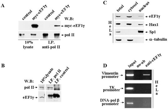 eEF1γ interacts with pol II and binds Vimentin gene promoter region. A : Total lysates from HeLa cells transfected with either an empty control vector or myc-eEF1γ were immunoprecipitated with the anti-pol II polyclonal antibody and analysed by western blot using the anti-myc monoclonal antibody. B : Whole extracts from HeLa cells immunoprecipitated with the anti-pol II polyclonal antibody. Co-immunoprecipitation was analysed by western blot using the anti-eEF1γ polyclonal antibody. The eEF1γ signal is specifically detected in the pol II I.P. sample (below the heavy chain Ig band). The I.P. control was performed with normal rabbit serum. Total cell lysates and immunopreciptated samples were immunoblotted with the anti-pol II polyclonal antibody. C : Western blot analysis of the cytoplasmic and nuclear fractions derived from HeLa cells. The blot was incubated with the anti-eEF1γ polyclonal antibody to determine the subcellular localization of eEF1γ. To verify fractionation quality, the same extracts were incubated with the anti-Hax1, anti-Sp1 and anti-alpha-tubulin antibodies. D : eEF1γ stays on Vimentin promoter at the endogenous chromosomal site. Chromatin immuno-precipitation was performed in HeLa cells using the anti-eEF1γ rabbit polyclonal antibody/protein G-agarose beads or only protein G-agarose beads as a control (no-Ab). Immuno-precipitates from each sample were analysed by PCR performed using primers specific for the human Vimentin promoter. The DNA-pol β and thymidine kinase human promoters were also amplified. A sample representing linear amplification of the total input chromatin (input) was included in the PCR as a control.