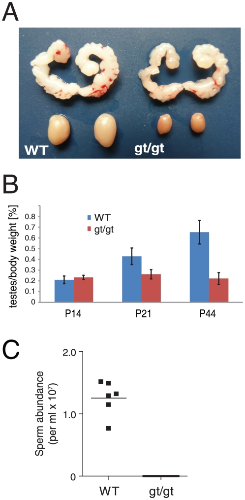 Absence of Hsp90α leads to atrophic testis and azoospermia. (A) Morphology of seminal vesicles and testis of wild-type (WT) and hsp90α gt/gt mutant (gt/gt) mice at P44. (B) Time course analysis of testis weight in WT and mutant (gt/gt) animals. n≥4. (C) No mature sperm cells could be detected in the epididymis of one year old hsp90α gt/g t animals.