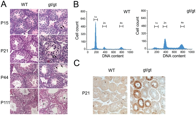Meiotic arrest and apoptosis in hsp90α gt/gt mutant testis. (A) Histological sections of testes of of wild-type (WT) and mutant (gt/gt) mice at 15, 21, 44 and 111 days after birth. In the righthand panels, arrows point out apoptotic nuclei and the asterisk in the P111 section indicates degenerating tubules. (B) Flow cytometric analysis of the DNA contents of the whole testis cell population at P44. (C) TUNEL analysis of sections of P21 testes.