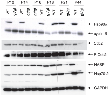 Immunoblot analysis of a panel of Hsp90- and Hsp70-related proteins. The results shown are from a representative analysis of testis extracts from wild-type and mutant animals from P12 until completion of the first wave of spermatogenesis at <t>P44.</t> GAPDH serves as loading control. Note that the order of the sample pairs is reversed for the P16 and P18 samples at the center of the blots (area highlighted by hairlines).