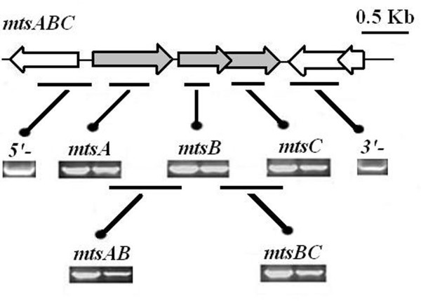 Reverse transcriptase-PCR analysis demonstrates a polycistronic transcript of mtsABC mRNA . Total <t>RNA</t> from S. iniae HD-1 was reverse transcribed into <t>cDNA,</t> and PCR was performed with ORF-specific primers. Each box contains products with the same primer pairs. For PCR, S. iniae HD-1 genomic DNA was used as the template (on the left), and for reverse transcriptase-PCR, S. iniae HD-1 RNA was used as the template (on the right).