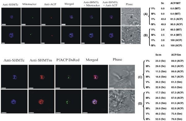 Triple-labelling experiments . (A) and (B) Combined mitochondrial and apicoplast images probed with anti-PfSHMTc. These do not show nuclear morphology, therefore the erythrocytic cycle stage cannot be precisely ascertained; however, the size of the organelles and overall size of the parasites in (A) and (B) suggest that both are mid trophozoites. In (A) the parasite is probed with anti-PfSHMTc, MitoTracker and anti-ACP (plastid). The plastid is coincident with an area of marked PfSHMTc fluorescence, whereas the mitochondrion shows no evidence of coincident PfSHMTc fluorescence. In (B) the parasite is probed with anti-PfSHMTc, MitoTracker and anti-ACP (plastid). The plastid is coincident with a discrete area of PfSHMTc fluorescence, whereas the mitochondrion is located in a pocket of lower PfSHMTc fluorescence. (C) Parasite is probably a late trophozoite and (D) a mitotic schizont. Both parasites were expressing DsRED-labelled ACP and were probed with both anti-PcSHMTc (IgY) and anti-PfSHMTm (IgG). The distribution of the two SHMT fluorescence signals are similar but not identical, and both co-localize with the apicoplast (scale bars (A) and (C), 3 μm, (B) 2 μm, (D) 4 μm). The associated table shows the percentage volume (V%) and material (M%) co-localization data for PfSHMTc (Sc), PfSHMTm (Sm), MitoTracker (MIT) and acyl carrier protein (ACP) fluorescence.