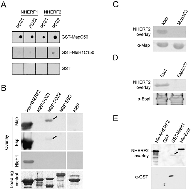 A. PDZ-domain protein arrays were overlaid with purified GST-MapC50, GST-NleH1C150 or GST followed by detection with anti-GST antibodies. MapC50 interacts with PDZ1 and 2 domains of NHERF1 and NHERF2 whereas NleH1C150 interacts only with the PDZ2 domain of NHERF2.B. Purified His-NHERF2, MBP-PDZ1, MBP-PDZ2, MBP-EBD and MBP were transferred onto PVDF membrane and overlaid with purified MBP-Map followed by detection with anti-Map, His-EspI followed by detection with anti-EspI or GST-NleH1 followed by detection with anti-NleH. Equivalent protein loading was confirmed by Coomassie staining. Map, EspI and NleH1 interact with His-NHERF2, but only Map and EspI interacted with MBP-PDZ2 (black arrows).C and D. Bacterial extracts of EPEC Δ map overexpressing Map and MapΔC3 (C) or EPEC Δ espI overexpressing EspI and EspIΔC7 (D) were transferred onto PVDF membrane and overlaid with purified His-NHERF2 followed by detection with anti-NHERF2 or immunoblotted with an anti-Map or anti-EspI antibody. NHERF2 was able to interact with Map and EspI but not MapΔC3 or EspIΔC7.E. Purified His-NHERF2, GST, GST-NleH1 and His-EspI were transferred onto PVDF membrane and overlaid with purified His-NHERF2 followed by detection with anti-NHERF2 or immunoblotted with anti-GST. NHERF2 interacted with His-EspI and GST-NleH1 (black arrow).