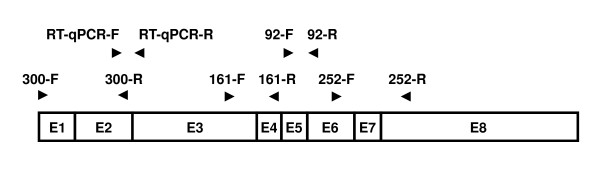 Primer placement for the multiplex endpoint RT-PCR and the RT-qPCR assay . Both assays use the TBP mRNA (NM_003194) as the target sequence. The eight exons are shown as rectangles labelled from E1 to E8. The primer locations are shown as horizontal arrow heads. The positions of the primers for the multiplex endpoint RT-PCR assay (92-F, 92-R, 161-F, 161-R, 252-F, 252-R, 300-F and 300-R) and for the RT-qPCR assay (RT-qPCR-F and RT-qPCR-R) are shown. Each primer pair was designed to span at least one intron.
