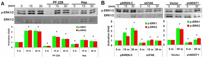 Interstitial flow-induced ERK activation depends on both FAK and HSPGs. ( A ) Western blots showed that PF-228 and Hep reduced ERK phosphorylation; Cells in gels were pretreated with 10 µM of PF-228 or 6.7 <t>IU/L</t> of Hep for 2 h followed by exposure to flow for 0, 15, or 30 min. ( B ) Western blots showed that shFAK or shNDST1 significantly reduced flow-induced ERK activation. Flow was induced for 0, 15, or 30 min. The gel panels are representative images from <t>three</t> independent experiments. Fold change values are the ratios of p-ERK1 and p-ERK2 over the total ERK1 and total ERK2, and then normalized to no-flow control case, shown in the bar graph. * P