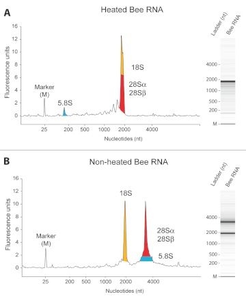 Electrophoretic profiles and virtual gels of Apis mellifera RNA. (A) A. mellifera brain RNA profile after heat-denaturation of two minutes at 70° C. (B) A. mellifera brain RNA profile without prior heat-denaturation. The main constituents of peaks are given: yellow denotes 18S; blue, 5.8S; and red, α and β fragments of 28S rRNA. Colored areas under the curve are only illustrative and not quantitative. High quality figures are available online.
