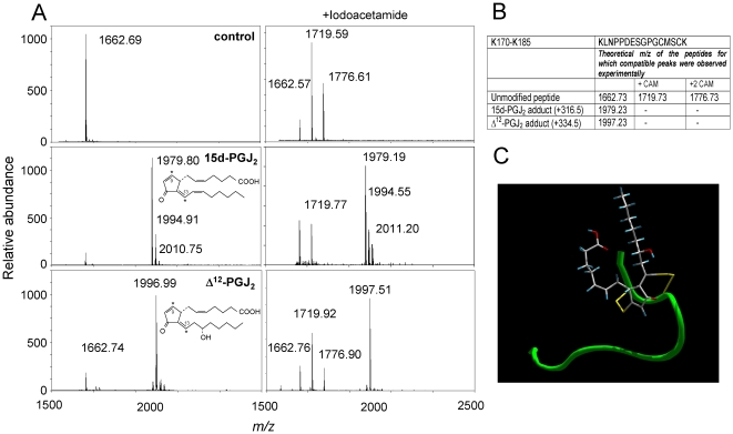 Modification of the K170-K185 peptide from the C-terminal region of H-Ras by cyPG. (A) The synthetic K170-K185 peptide was incubated with the indicated cyPG and the resulting adducts analyzed by MALDI-TOF MS. When indicated, incubation mixtures were treated with 50 mM iodoacetamide after addition of 10 mM DTT. Spectra presented are representative from at least three independent assays per experimental condition. Structures of the cyPG used are shown in insets. Electrophilic carbons are marked by asterisks. (B) Summary of the theoretical peptide adducts for which compatible peaks were observed experimentally. +CAM indicates that the peak is compatible with the formation of carbamidomethyl cysteine subsequent to iodoacetamide treatment. (C) Ribbon diagram for the theoretical backbone structure of the H-Ras K170-K185 peptide (in green) modified by addition of 15d-PGJ 2 to cysteines 181 and 184. The side-chains of the cysteine residues and the 15d-PGJ 2 ligand are displayed in yellow and a default atom-type color scheme, respectively.