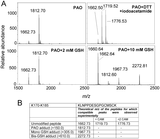 Effect of reducing agents on PAO modification of the K170-K185 peptide. (A) In the upper panels, the K170-K185 peptide was incubated with PAO and analyzed by MALDI-TOF MS. In the right panel, the incubation mixture was treated with 10 mM DTT and subsequently with 50 mM iodoacetamide. In the lower panels, the K170-K185 peptide was incubated with PAO in the presence of the indicated concentrations of GSH before analysis by MALDI-TOF MS. (B) Summary of the theoretical m/z of peptides for which compatible peaks were observed experimentally in the assays shown in (A).