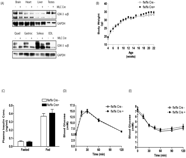 GSK-3 expression, body weight, plasma insulin concentration, glucose tolerance and insulin sensitivity in C57BL/6/129 GSK-3α muscle KO animals. (A) Brain, heart, liver, testes and quad, gastroc, soleus and EDL muscles and (B) brain, heart, testes, liver and gastroc from eight week old MLC Cre − (−) and MLC Cre + (+) littermate control animals were extracted and lysed as described in Experimental Procedures and proteins resolved by SDS-PAGE. Proteins were detected by immunoblotting with antibodies against GSK-3α/β. Even loading was determined using antibodies to GAPDH. Blots are representative from three separate experiments. (B) Body weight of male MLC Cre − (open squares) and MLC Cre + (filled squares) littermate control mice was monitored weekly from age 4 to 22 weeks. Values are the mean ± SEM from eight separate animals. (C) Plasma insulin concentration was determined in eight week old male MLC Cre − (open bars) and MLC Cre + (filled bars) littermate control animals under fasted and fed conditions. Values are the mean ± SEM from at least seven separate animals. Blood glucose concentration in eight week old male MLC Cre − (open squares) and MLC Cre + (filled squares) littermate control mice was measured at the indicated times following administration of (D) 2 mg/g glucose or (E) 1 mU/g insulin by i.p. injection as described in Experimental Procedures. Values are the mean ± SEM from at least seven separate animals.