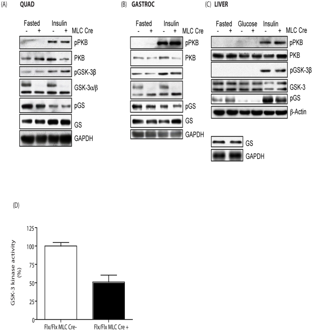 Effect of GSK-3α muscle KO on insulin signaling. (A) Quad, (B) gastroc and (C) liver from eight week old MLC Cre − (−) and MLC Cre + (+) littermate control animals was extracted following either an over night (16–18 h) fast alone or an overnight fast followed by i.p. administration of 150 mU/g insulin for 15 min. Twenty µg of the protein lysate was resolved by SDS-PAGE. Proteins were detected by immunoblotting with antibodies against phospho-PKB (pSer473), PKB, phospho-GSK-3β (pSer9), GSK-3β, phospho-GS (pSer641) and GS (lower left inset in C). Loading was determined using antibodies to either GAPDH or β-actin. Blots are representative from five separate experiments. (D) GSK-3 kinase activity was determined from muscle tissue extracted from male MLC Cre − control (open bars) and MLC Cre + (filled bars) mice as described in experimental procedures. GSK-3 kinase activity was determined using a quantitative peptide phosphorylation assay. GSK-3 kinase activity is expressed relative to the MLC Cre- control (which is set at 100%) and is the mean ± SEM of four different muscle samples with each assayed in triplicate. Genetic background was C57BL/6/129.