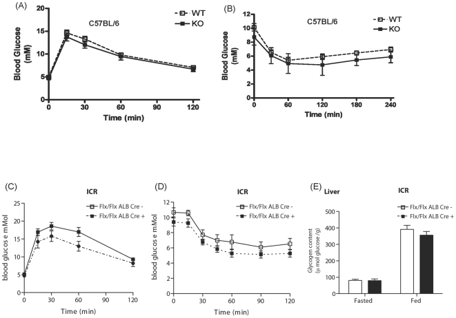 Glucose tolerance and insulin sensitivity in C57BL/6-GSK-3α global and ICR-GSK-3α liver KO animals. Blood glucose concentration in eight week old male WT - (open squares) and C57BL/6-GSK-3α KO (filled squares) mice was measured at the indicated times following administration of (A) 2 mg/g glucose or (B) 1 mU/g insulin by i.p. injection as described in Experimental Procedures. Values are the mean ± SEM from at least seven separate animals. Blood glucose concentration in eight week old male ICR-GSK-3α Alb Cre − (open squares) and ICR-GSK-3α Alb Cre + (filled squares) littermate control mice was measured at the indicated times following administration of (C) 2 mg/g glucose or (D) 1 mU/g insulin by i.p. injection as described in Experimental Procedures. Values are the mean ± SEM from nine separate animals for Alb Cre − and ten separate animals for Alb Cre +. Glycogen content was measured in liver (E) from ICR-GSK-3α Alb Cre − (open squares) and ICR-GSK-3α Alb Cre + (filled squares) following either an overnight fast or random feeding. Values are mean ± SEM from at least five separate animals with each assayed in triplicate.