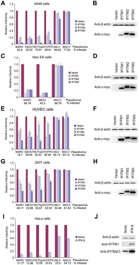 MARV and EBOV GP 1,2 -mediated entry is restricted by IFITM1, 2, and 3. ( A ) A549, ( C ) Vero E6, ( E ) HUVEC, or ( G ) 293T cells transduced to express the indicated c-myc-tagged IFITM proteins or with vector alone were infected with MLV-GFP pseudotyped with the entry proteins of EBOV, MARV, IAV, MLV, or MACV, as indicated. Two days later, pseudovirus infection was determined by flow cytometry. Relative infectivity represents the percentage of GFP-positive cells, normalized to that of cells transduced with vector alone. Numbers underneath figures indicate percentage of infected cells in vector-transduced cells. Differences in pseudovirus entry between vector alone and IFITM expressing cells are significant ( P