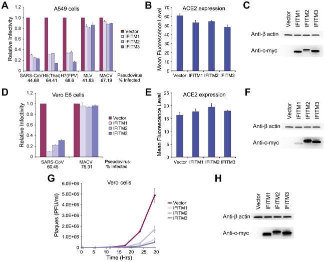 SARS-CoV S infection is restricted by IFITM1, 2, and 3. ( A ) A549 or ( D ) Vero E6 cells transduced to express ACE2 were subsequently transduced to express the indicated c-myc-tagged IFITM proteins or with vector alone. Two days later, cells were infected with indicated pseudoviruses. Pseudovirus infection was determined by flow cytometry, and normalized to that of cells transduced with vector alone. Differences in pseudovirus entry between vector alone and IFITM expressing cells are significant ( P