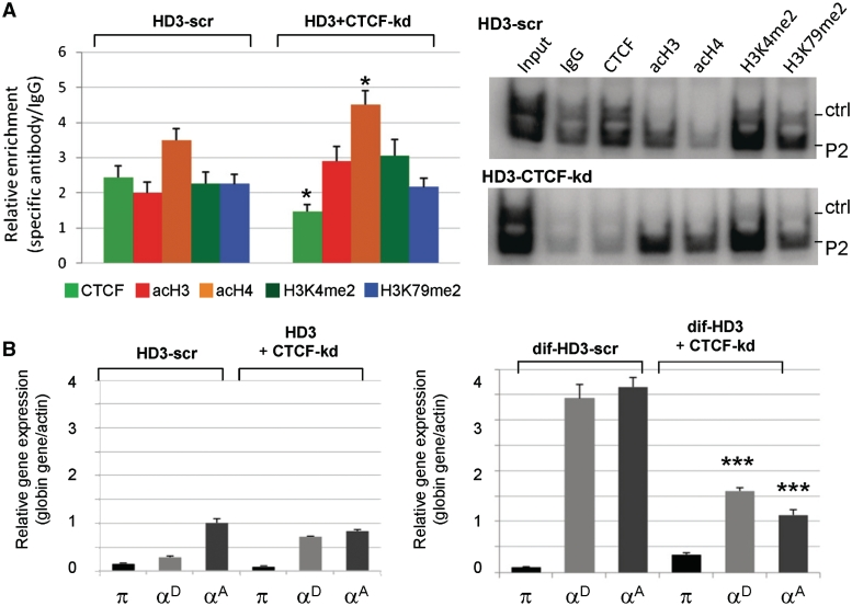 Reduction of CTCF alters the profile of histone covalent modifications at the αEHS-1.4 insulator region and α-globin genes expression. ( A ) ChIP analysis of histone modifications in HD3 cells (HD3) and HD3 cells knocked down for CTCF (HD3+CTCF-kd). Each ChIP assay was performed in triplicate. Representative radioactive duplex PCR gels of the HD3-scramble (HD3-scr) and HD3 cells knocked down for CTCF (HD3+CTCF-kd) are shown. ( B ) Evaluation of α-globin gene expression in HD3 cells (HD3) and HD3 cells knocked down for CTCF in normal conditions (undifferentiated, HD3+CTCF-kd) and differentiated HD3 cells (dif-HD3). The results are representative of nine independent PCR reactions from two independent total RNA purifications and reverse transcriptase reactions. There is a premature chromatin opening of the insulator region in the CTCF knock down cells, and the adult genes are unable to be expressed in the HD3 differentiated cells. * P ≤ 0.05 (MANOVA) and *** P ≤ 0.001 (MANOVA) with respect to the corresponding histone covalent modification or expressed gene in HD3 or dif-HD3 scramble controls, respectively.