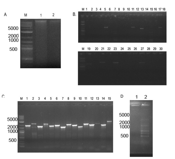 PCR based assay of nuclear matrix associated DNA from Giardia . Nuclear matrix dependent (A;Lane 1) and independent DNA (A;Lane 2) was extracted from nuclear matrix (see methods) according to [20 and used for PCR reactions with predicted S/MAR primers(B). Lane M is the DNA marker (NEB); lanes 1-30 are PCR products of which odd number lanes (1,3,5,7.....27,29) even numberedare nuclear lanes (2,4,6...26,28,30) are nuclear matrix from the Giardia genomic DNA as a positive control(C). The PCRs are loaded in the following order: GlSMAR3, GlSMAR7, GlSMAR10, GlSMAR11, GlSMAR16, GlSMAR20, GlSMAR66, GlSMAR20, GlSMAR22, GlSMAR26-1, GlSMAR26-2, GlSMAR39, GlSMAR42, GlSMAR51, GlSMAR55, GlSMAR58, in both panel B and C. A non-S/MAR sequence was used as a control (PanelD). Amplification of multiple bands was seen in the matrix independent fraction (loop-fraction) lane 2 and no amplification was seen in the matrix dependent fraction.