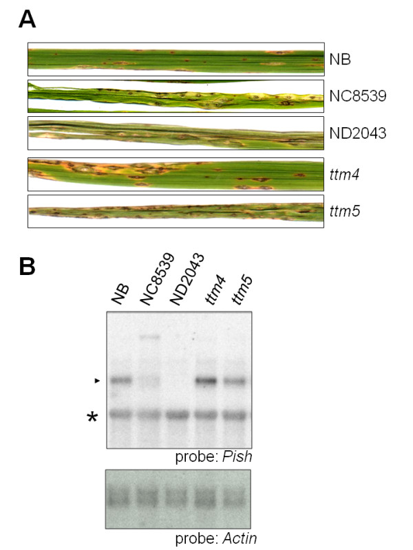 The susceptible phenotype of selected mutant lines . (A) Three-week-old NB, pish mutant lines, NC8589 andND2043, and ttm mutant lines were inoculated with M. oryzae containing avrPish . The photographs were taken 7 days post inoculation. (B) Expression of the Pish gene. Total <t>RNA</t> was extracted from leaf tissues of NB and each mutant. Samples (1 μg) of poly(A) + RNA were separated by gel electrophoresis, blotted, and hybridized with radiolabeled probes as indicated. The Actin probe was used as a loading control. The closed arrowhead indicates the size of the Pish <t>mRNA.</t> The asterisk indicates a non-specific signal detected by the Pish probe.