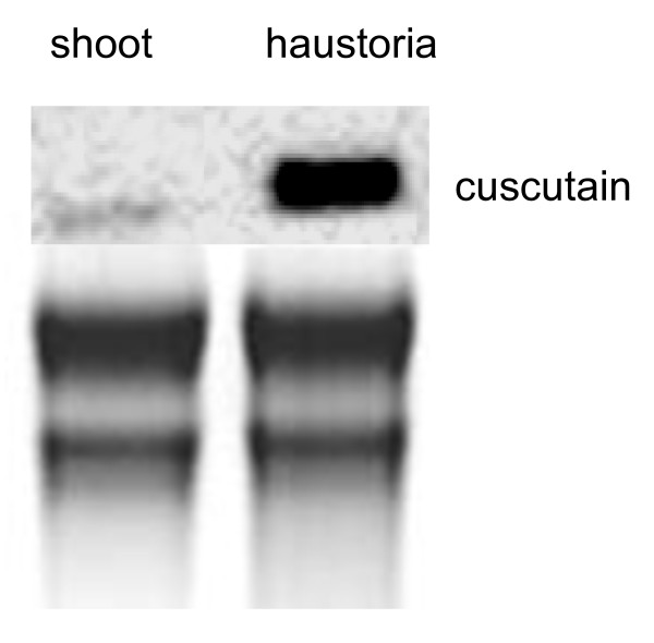 Northern blot with total Cuscuta <t>RNA</t> . Cuscuta RNA from shoots (shoot) or shoot material with haustoria (haustoria). Upper panel: hybridization signal with a <t>cuscutain-cDNA</t> probe. Lower panel: Ethidium bromide stained total RNA to indicate even loading.