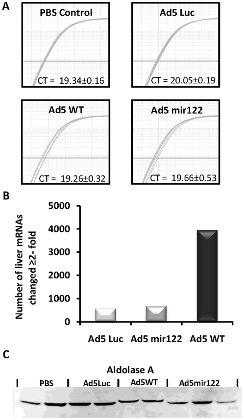 The level and activity of mature mir122 in vivo is unaffected by Ad5mir122. Mice were injected with 2×10 10 vp of either Ad5mir122, Ad5WT, an E1A deleted Ad5luc vector or PBS. Quantification of mir122 mature RNA levels was performed using a Taqman microRNA assay specific for mir122. CT values were corrected against the levels of the microRNA, let7a, as a reference gene using the method published by Pfaffl M [25] . A) RT-QPCR for mir122 showing nine superimposed amplification curves (from three mice) in each treatment group, before correction against let7a. Samples were reverse transcribed using equal amounts of total RNA (5 ng) and RT-PCR was performed using equal amounts of cDNA. CT values shown here represent the average of the reactions from three mice plus or minus standard deviation. B) The total number of mRNA changes recorded by genome wide mRNA profiling of extracted murine hepatic RNA. Positive signals are those in which the median mRNA level changed by ≧2-fold from all mice in each group in comparison to median mRNA level in mice treated with PBS (n = 3 for all groups). The total number of genes altered is calculated using the average of the three independent replicates and therefore no error bars are shown. C) Western blot analysis of the mir122 regulated protein Aldolase A in mice treated as above. Liver protein extracts were subjected to a BCA protein assay and equal loading was confirmed by Ponceau stain (data not shown).