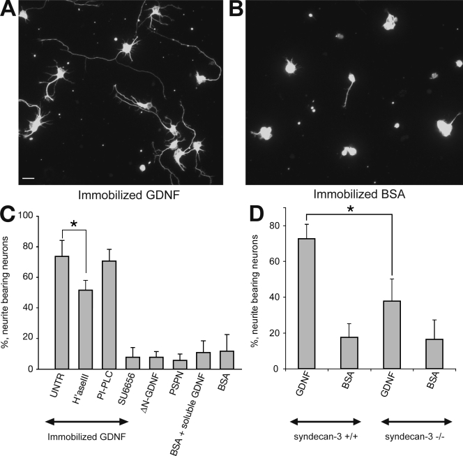 Immobilized GDNF induces neurite outgrowth in rat embryonic hippocampal neurons. (A) Neurite outgrowth in E17 rat hippocampal neurons on immobilized GDNF. Neurons are stained with tubulin-βIII antibodies. Bar, 20 µM. (B) Neurite outgrowth in hippocampal neurons plated on BSA. Neurons are stained with tubulin-βIII antibodies. (C) Quantification of neurite outgrowth on immobilized GDNF, ΔN-GDNF, PSPN, and BSA. Neurons plated on GDNF were untreated (UNTR) or preincubated with heparinase III (H'aseIII), PI-PLC, or 2 µM SFK inhibitor SU6656. As a control, soluble GDNF was added to neurons grown on BSA. Error bars show SEM from three to five independent experiments (*, P