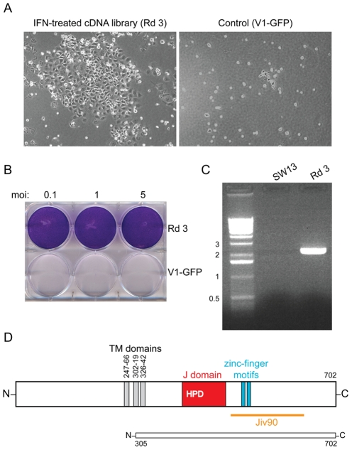 DNAJC14 confers resistance to YFV-induced cell death. (A) Photographs 7 d after YFV challenge (moi = 1) of SW13 cells transduced with Round 3 of the selected lentiviral cDNA constructs compared to cells transduced with V1-GFP vector control. (B) The cells transduced with the Round 3 lentivirus pool and surviving YFV infection (Rd 3) were expanded and reinfected with YFV at the indicated moi. Crystal violet staining was performed 3 d later. Cells transduced with vector alone serve as a control (V1-GFP). (C) DNA was isolated from naïve SW13 or Round 3 (Rd 3) cells, and the lentiviral insert amplified by PCR. The major band was identified as encoding a truncated hamster DNAJC14. Sizes of the DNA markers (kb) are indicated to the left. (D) A schematic of human DNAJC14 is shown, with the putative transmembrane (TM) domains (gray), J domain (red) with conserved HPD sequence, zinc finger motifs (blue) and Jiv90 domain (orange) indicated. A schematic of the isolated hamster clone, showing homology to amino acids 305 to 702 of human DNAJC14, is shown below.