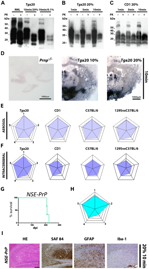 PrP Sc deposition in brains of mice infected with prion aerosols and profiling of NSE-PrP mice. ( A ) Western blot analysis of brain homogenates (10%) from terminal or subclinical tg a 20 mice exposed to aerosols from 20% or 0.1% IBH for 10 min. PK+ or −: with or without proteinase K digest; kDa: Kilo Dalton. ( B–C ): Western blot analyses of brain homogenates from tg a 20 ( B ) or CD1 ( C ) mice exposed to prion aerosols from 20% IBH. ( D ) Histoblot analysis of brains from mice exposed to prion aerosols. Brains of tg a 20 mice challenged with aerosolized 10% (middle panel) or 20% (right panel) IBH showed deposits of PrP Sc in the cortex and mesencephalon. Because the brain of a Prnp o/o mouse showed no signal (left panel), we deduce that the signal in the middle and right panels represents local prion replication. ( E ) Histopathological lesion severity score analysis of 5 brain regions depicted as radar plots [51] (astrogliosis, spongiform change and PrP Sc deposition) derived from tg a 20 , CD1, C57BL/6 and 129SvxC57BL/6 mice exposed to prion aerosols. Numbers correspond to the following brain regions: (1) hippocampus, (2) cerebellum, (3) olfactory bulb, (4) frontal white matter, (5) temporal white matter. ( F ) Histopathological lesion severity score of 5 brain regions shown as radar blot (astrogliosis, spongiform change and PrP Sc deposition) of i.c. prion inoculated tg a 20 , CD1, C57BL/6 and 129SvxC57BL/6 mice. (1) hippocampus, (2) cerebellum, (3) olfactory bulb, (4) frontal white matter, (5) temporal white matter. ( G ) Survival curve and ( H ) lesion severity scores of NSE-PrP mice exposed to a 20% aerosolized IBH for 10 min. ( I ) Histological and immunohistochemical characterization of scrapie-affected hippocampi of NSE-PrP mice after exposure to aerosolized 20% IBH. Stain legend as in Fig. 1H . Scale bar: 100µm.