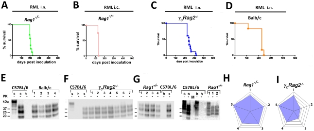 Prion transmission by intranasal instillation. ( A ) Rag1 −/− mice intranasally inoculated with RML6 0.1%, ( B ) C57BL/6 mice that have been intranasally inoculated with 3×10 5 LD 50 prions. ( C ) Rag1 −/− mice i.c. inoculated with 3×10 5 LD 50 , ( D ) γ C Rag2 −/− mice intranasally inoculated with 4×10 5 LD 50 or ( E ) Balb/c mice intranasally inoculated with 4×10 5 LD 50 scrapie prions are shown. Survival curves ( A–D ) and respective Western blots ( F–G ) are indicative of efficient prion neuroinvasion. Brain homogenates were analyzed with (+) and without (−) previous proteinase K (PK) treatment as indicated. Brain homogenates derived from a terminally scrapie-sick and a healthy C57BL/6 mouse served as positive and negative controls (s: sick; h: healthy), respectively. Molecular weights (kDa) are indicated on the left side of the blots. ( H and I ) Histopathological lesion severity score described as radar blot (astrogliosis, spongiform change and PrP Sc deposition) in 5 brain regions of both mouse lines exposed to prion aerosols. Numbers correspond to the following brain regions: (1) hippocampus, (2) cerebellum, (3) olfactory bulb, (4) frontal white matter, (5) temporal white matter.
