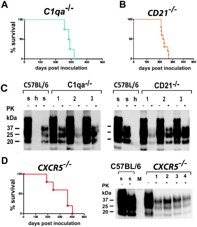 Intranasal prion transmission in immnunodeficient mice. All mice were intranasally inoculated with 3×10 5 LD 50 prions. ( A ) C1q a −/− mice intranasally inoculated and ( B ) CD21 −/− mice intranasally inoculated are shown. Survival curves illustrate survival after intranasal prion challenge. Respective Western blots of C1qa −/− mice intranasally inoculated ( C, left panel ) and of CD21 −/− mice intranasally inoculated ( C, right panel ) are shown. Survival curves of CXCR5 −/− mice intranasally inoculated are shown ( D ). Respective Western blots of CXCR5 −/− mice intranasally inoculated. Brain homogenates were analyzed with (+) and without (−) previous proteinase K (PK) treatment as indicated. Controls and legends are as in Fig. 5 .