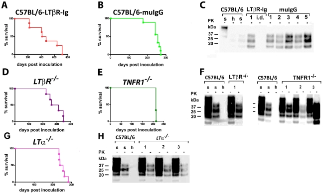 Intranasal prion transmission is independent of lymphotoxin signaling. C57BL/6 mice treated with LTβR-Ig ( A ) or control muIgG ( B ), and mice lacking various components of the LT/TNF system ( D–F , as indicated) were intranasally inoculated with 4×10 5 LD 50 scrapie prions. Survival curves ( A, B, D, E and G ) and respective Western blots ( C, F and H ) indicate efficient prion infection and neuroinvasion. One animal that died early after intranasal inoculation (40 dpi) is reported as intercurrent death (i.d.) for reasons other than scrapie. Brain homogenates were analyzed with (+) and without (−) previous proteinase K (PK) treatment as indicated. Controls and legends used are as in Fig. 1H .