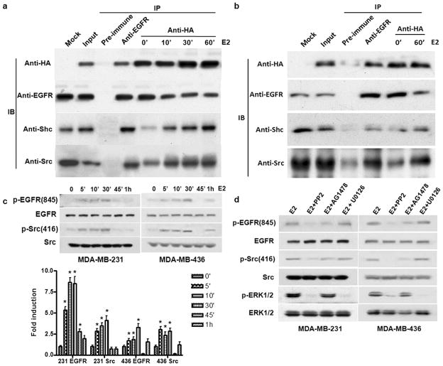 ER-α36 interacts with the EGFR complex and mediates E2β-induced phosphorylation of Src and EGFR (a b). Co-immunoprecipitation and Western blot analysis of HA-ER-α36 and the EGFR complex in MDA-MB-231 (a) and MDA-MB-436 (b) cells. Cells transiently transfected with an expression of HA-tagged ER-α36 were lysised and the cell lysates were immunoprecipitated with pre-immune, anti-EGFR and anti-HA antibodies. The immunoprecipitates were blotted by anti-HA, anti-EGFR, anti-Shc, and anti-Src antibodies. (c). Western blot analysis of the effects of E2β 1nM) on the phosphorylation levels of EGFR-845 and Src-846 in MDA-MB-231 and MDA-MB-436 cells. The columns represent the means of three experiments; bars, SE. *, P