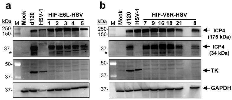 ICP4 (34kDa) and thymidine kinase (TK) expression by HIF-E6L-HSV and HIF-V6R-HSV E5 cells were infected at MOI 0.25 with the indicated (a) HIF-E6L-HSV (clones 1-5) or (b) HIF-V6R-HSV (clones 7, 9, 16, 18, 21, 8) and then grown under normoxia. As controls, cells were mock- or virus-infected with HSV-1 strain KOS or d120. One day later, 30μg of total cell lysate was examined by immunoblotting for the presence of full length ICP4 (175 kDa), truncated ICP4 (34kDa), TK (40 kDa), and GAPDH (loading control, 36 kDa) protein expression. The ICP4 bands are shown at two different exposures to better visualize the 175 kDa and 34 kDa ICP4 proteins. Asterisks indicate a non-specific band that is cross-reactive with the anti-ICP4 antibody.