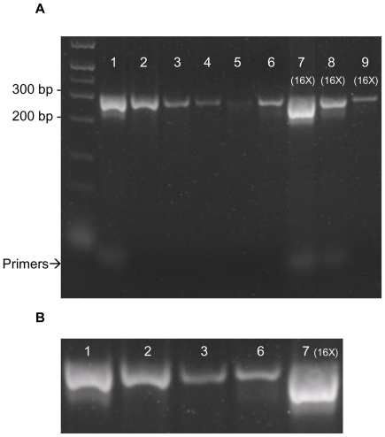 Cu 2+ -IMAC purification of PCR product mixture from amplifying a region of lambda bacteriophage genomic DNA. ( A ) Gel picture showing Cu 2+ -IMAC purification of PCR product mixture from amplification of a 280 bp region of lambda bacteriophage genomic DNA. Lane 1: 5 µL of unpurified PCR product; Lane 2: 5 µL of purified PCR product, flow-through after direct application of PCR product mixture to Cu 2+ -IMAC column; Lanes 3–5: 5 µL of consecutive 20 µL column washes with 250 mM NaCl, 20 mM HEPES, pH 7.0; Lane 6: 5 µL of first elution with 20 µL 500 mM imidazole in 250 mM NaCl, 20 mM HEPES, pH 7.0; Lanes 7–9: 5 µL of first, second and third elutions, respectively with 20 µL 500 mM imidazole in 250 mM NaCl, 20 mM HEPES, pH 7.0. Lanes 7–9 were concentrated 16-fold by ethanol precipitation to enhance sensitivity. ( B ) Expanded views of 280 bp product from selected lanes of Figure 2A . Lane 1: Unpurified PCR product, corresponding to Lane 1 of Figure 2A ; Lane 2: Purified flow-through PCR product, corresponding to Lane 2 of Figure 2A ; Lane 3: First wash with 250 mM NaCl, 20 mM HEPES, pH 7.0, corresponding to Lane 3 of Figure 2A ; Lane 6: First elution with 500 mM imidazole in 250 mM NaCl, 20 mM HEPES, pH 7.0, corresponding to Lane 6 of Figure 2A ; Lane 7: 16 times concentrated product of first imidazole elution, corresponding to Lane 7 of Figure 2A .