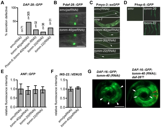TOMM-40 promotes insulin secretion. ( A ) Adults, carrying an integrated daf-28::gfp transgene ( svIs69) , were analyzed for <t>coelomocyte</t> GFP content. Absent or severely reduced GFP content (a maximum of two faintly fluorescing coelomocytes) was scored as secretion defective. ( B ) Neuronal expression of GFP from the transcriptional reporter transgene P daf-28 ::gfp in tomm-40(peRNAi) and emv(peRNAi) treated animals, imaged with fluorescence optics. ( C ) Fluorescence optics of peRNAi treated animals of the arIs37 strain, carrying a P myo-3 ::ssgfp transgene that expresses ssGFP in body wall muscle, from where it is secreted into the pseudocoelom. Coelomocyte sequestration of GFP indicates functional coelomocyte endocytosis. rme-1(b1045) is a previously characterized endocytosis defective mutant [39] . Arrows indicate GFP labeled coelomocytes. ( D ) Fluorescence micrographs of emv, tomm-20 and tomm-22(RNAi) -treated animals carrying the P hsp-6 ::gfp reporter. ( E–F ) Relative pixel intensity plots of coelomocyte GFP contents in peRNAi or RNAi treated adults carrying ( E ) an Anf::gfp transgene or ( F ) an ins-22::venus transgene. The strongest fluorescing coelomocyte in the posterior most pair was scored. The mean value of the pixel intensity in emv was set to 1 in each experiment. Error bars represent +/− mean standard deviations from three independent experiments. ( G ) Micrographs of RNAi treated sibling animals, carrying either the integrated daf-16::gfp transgene only, or both the integrated daf-16::gfp transgene and an extra chromosomal P daf-28 ::daf-28 transgene for DAF-28 overexpression. Presence of the P daf-28 ::daf-28 transgene is indicated by a coelomocyte <t>RFP</t> co-injection marker (red arrows). White arrowheads indicate nuclear DAF-16::GFP localization in a tomm-40(RNAi) animal. White arrows indicate the absence of DAF-16::GFP in nuclei of intestinal cells in a tomm-40(RNAi); daf-28(++) animal. Scale bars are 25 µm.