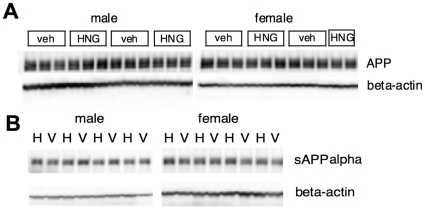 S14G-HN does not affect APP production and processing. Brain homogenate of 3xTg-AD mice treated with S14G-HN (HNG or H) or vehicle (veh or V) was subjected to immunoblot analysis using anti-APP C-terminus ( A ) or anti-sAPPalpha ( B ) (upper panels) and anti-beta-actin (lower panels) antibodies.