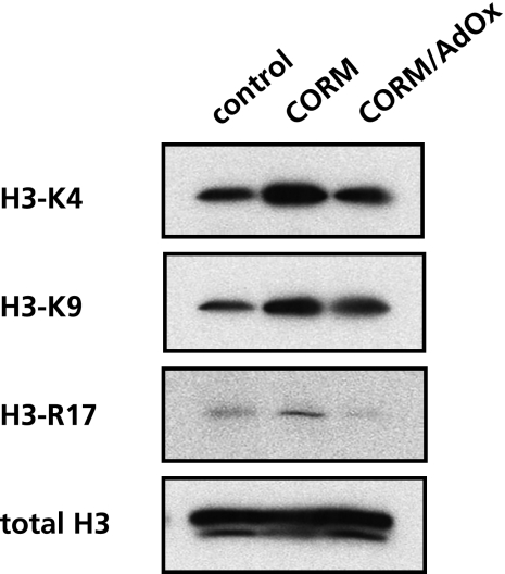 CO alters the methylation status of histone H3. Cell lysates (25 µg protein per lane) from U937 cells were treated with CO-releasing molecule (CORM) for 4 h was separated by SDS-PAGE and performed western blot analyses with several antibodies recognized with distinct methylated residue of histone H3 described in Materials and Methods. The expression level of histone H3 protein was determined as an internal control. The data show a representative set from 3 independent experiments.