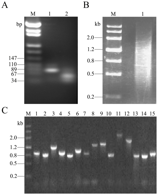 Monitoring the process of MgC-GEP. (A) Detection of the PCR products digested. Lane 1 was the PCR products without digestion. Lane 2 was the PCR products digested with  Bam HI and  Hin dIII. The RT-PCR products digested and undigested were separated by 3% agarose gel electrophoresis and stained with ethidium bromide. Marker (M) was the pUC18 DNA/MspI (TIANGEN). (B) The digested products were ligated to produce concatemers with T4 DNA ligase. The concatemers were analyzed by using 1.5% agarose gel and stained with ethidium bromide. Maker (M) was the MIII (DingGuo). (C) Insert size of 15 clones was estimated by PCR analysis. The PCR products were analyzed by using 1% agarose gel and stained with ethidium bromide. Lanes 1 to 15 were the different clones selected randomly. Marker (M) was the MIII (DingGuo).