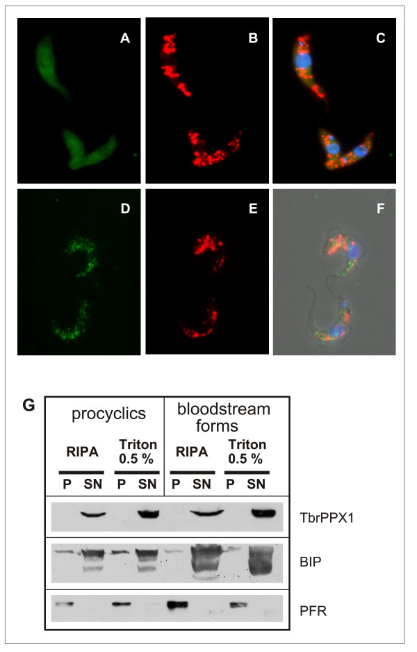Subcellular localization of TbrPPX1 . Panels A-C: procyclic forms. Panels D-F: bloodstream forms. Panels A and D: c-Myc-tagged TbrPPX1; panels B and E: acidocalcisomes visualized by the VH + -PPase-antibody; panels C and F: overlay, including DAPI staining. Panel G: Detergent fractionation of bloodstream forms and procyclic cells. Pellets (P) and supernatant fractions (SN) of cells solubilized either with RIPA buffer or with 0.5% Triton X-100. Western blots were developed with monoclonal anti-c-Myc antibody (= TbrPPX1), a polyclonal antiserum against BIP, and a polyclonal antiserum against a major paraflagellar rod (PFR) protein.