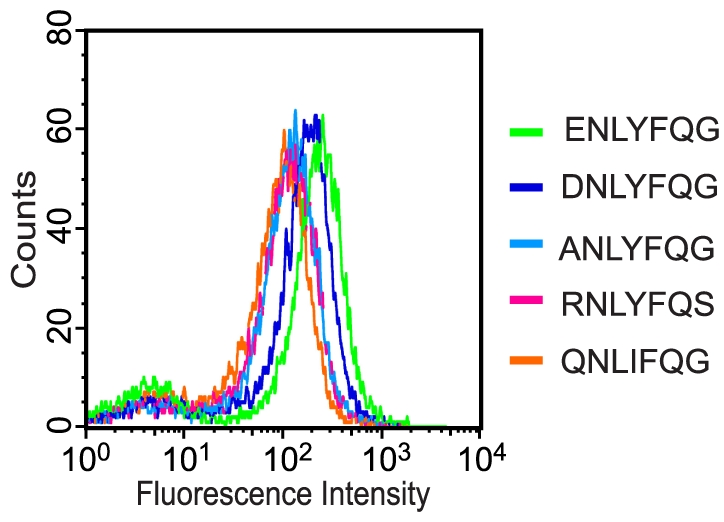 Flow cytometry analysis of individual clones that emerged through screening of library 1 and 2. Each histogram corresponds to a pure culture of DH5α cells coexpressing TEVp and a reporter construct containing a unique substrate peptide, 2.5 h after induction (0.1 mM IPTG, 0.2% arabinose). The different peptides analyzed are indicated in the figure.