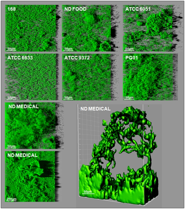 """Three-dimensional biofilm structures obtained with the seven B.subtilis strains. These images present a representative, aerial, 3D view of the 48h-biofilm structures obtained with the seven B. subtilis strains using a microplate system, obtained from confocal image series using IMARIS software (including the shadow projection on the right). One iso-surface representation of a particular """"beanstalk-like"""" structure is also shown for B. subtilis ND medical ."""