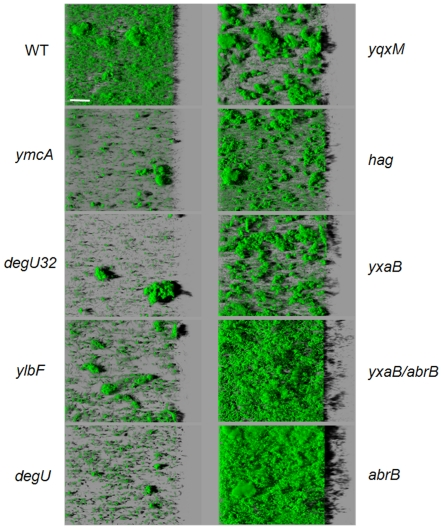 Effect of mutations on the three-dimensional structure of biofilms. Effects of mutations on immersed biofilm structures of the biofilms obtained with different GFP-carrying mutant strains and the corresponding reference wild-type (WT) strain from the confocal image series using the IMARIS software. Images depict an aerial view of 48h-biofilms in the microplate system. The scale bar is 50µm.