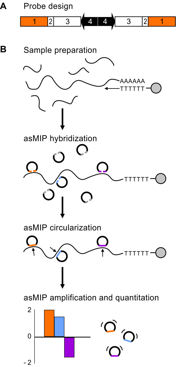 A schematic of the asMIP methodology . (A) The asMIP design. Unreacted probes terminate with 3'- and 5'-interrogation sequences (no. 1) abutted by two DraI cleavage sites (no. 2). Each probe contains two unique sequence tags (no. 3) and two common primer binding sites (no. 4). (B) The asMIP assay. Step 1, sample preparation: immobilized cDNA was reverse transcribed (arrow) from polyadenylated RNA (curved lines followed by AAAAAA) using oligo-dT primers (TTTTT), which were covalently attached to magnetic beads (gray circles). Following cDNA synthesis, RNA is digested and washed away. Step 2, asMIP hybridization: unreacted asMIP probes (flattened nicked circles) terminate with 3'- and 5'-interrogation sequences (gray and colored lines), which are homologous to the exon sequences that flank splice junctions on the cDNA. Probes quantitatively anneal to the appropriate exon-exon junction (colored probes). Probes that do not hybridize (gray probes) are washed away. Step 3, asMIP circularization: bound asMIPs are ligated into circles (small arrows). Step 4, asMIP amplification and quantitation: only the successfully ligated probes (contiguous circles) can be exponentially amplified using the common PCR primers (thin black lines). Each probe contains two unique sequence tags, which are amplified by PCR for multiplexed detection via array hybridization or high-throughput sequencing (bar graph).