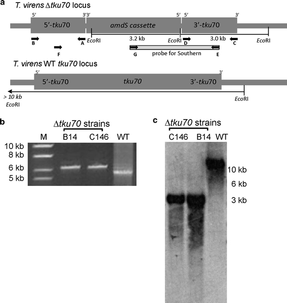 Generation and analysis of Δ tku70 knockout strains. a Schematic presentation of the Δ tku70 and tku70 -WT loci, indicating the location of the primers and restriction sites used for analysis of the transformants. b PCR analysis of the Δ tku70 strains and the WT with primers E/F (Table 1 ), showing a 5.1 kb band for the WT and a 6.1 kb band for the knockout strains B14 and C146. M molecular weight marker (1 kb ladder, Fermentas, St. Leon-Rot, Germany). c Southern analysis of the Δ tku70 strains. Genomic DNA was digested with Eco RI and hybridization with the probe (amplified with primers E/K) showed a > 10 kb band for the WT strain and a 3.0/3.2 kb double band for the knockout strains