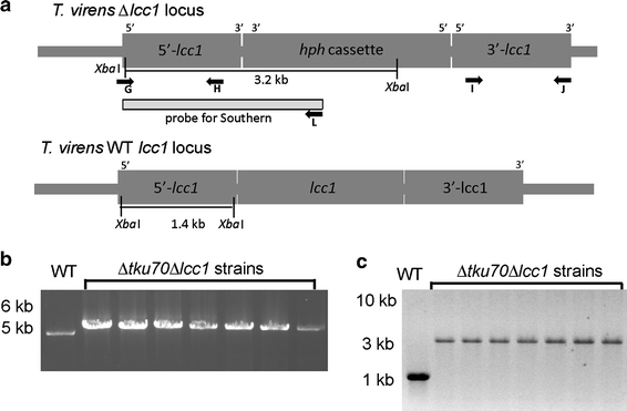 Generation and analysis of Δ tku70 Δ lcc1 knockout strains. a Schematic presentation of the Δ tku70 Δ lcc1 and lcc1 -WT loci, indicating the location of the primers and restriction sites used for analysis of the transformants. b PCR analysis results of seven Δ tku70 Δ lcc1 strains and the WT with primers G/J (Table 1 ), showing a 5.0 kb band for the WT and a 5.3 kb band for the knockout strains (only 7 out of the 32 Δ tku70 Δ lcc1 strains are shown here). M molecular weight marker (1 kb ladder, Fermentas). c Southern analysis of seven Δ tku70 Δ lcc1 strains. Genomic DNA was digested with Xba I and hybridization with the probe (amplified with primers G/L) showed a 1.4 kb band for the WT strain and a 3.1 kb band for the knockout strains