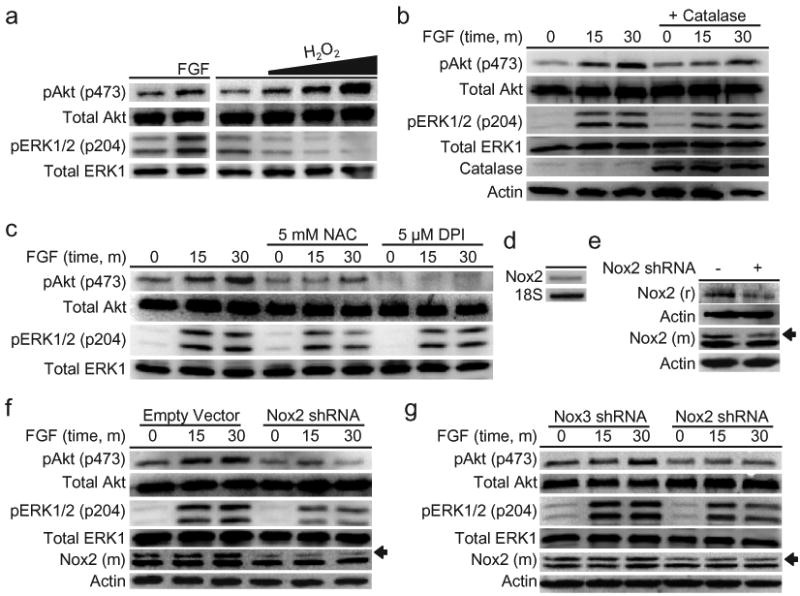 Cellular redox status affects AHP growth signaling (a) After FGF-2 starvation, AHPs were stimulated with vehicle control (buffer), 20 ng/mL FGF-2, 300, 500, or 1000 μM H 2 O 2 for 30 min. (b) AHPs transfected with either Catalase or a control vector. After FGF-2 starvation, AHPs were stimulated with 20 ng/mL and lysed at the given time points. (c) After FGF-2 starvation, AHPs were incubated with NAC, DPI, or vehicle control (DMSO) for 40 minutes, then stimulated with 20 ng/mL FGF-2 and lysed at the given time points. (d) Nox2 mRNA detection in AHPs measured by RT-PCR. (e) Nox2 expression of AHP whole cell extracts transfected with either Nox2 shRNA or an empty vector as measured by western blot analysis using either a mouse monoclonal (m) or a rabbit polyclonal (r) Nox2 antibody, followed by stripping and reprobing for actin as a loading control. An arrow shows the band in the Nox2 monoclonal antibody blot that matches the band in the Nox2 polyclonal blot, which corresponds to the molecular weight of Nox2. (f) AHPs transfected with either Nox2 shRNA or the empty vector. (g) AHPs transfected with either Nox2 shRNA or Nox3 shRNA. After 12 hour FGF-2 starvation, AHPs were stimulated with 20 ng/mL and lysed at the given time points. phospho-Akt, phospho-ERK, or mouse monoclonal Nox2 were measured by western blot analysis of whole cell extracts, and blots were stripped and reprobed for total protein or actin as loading controls.
