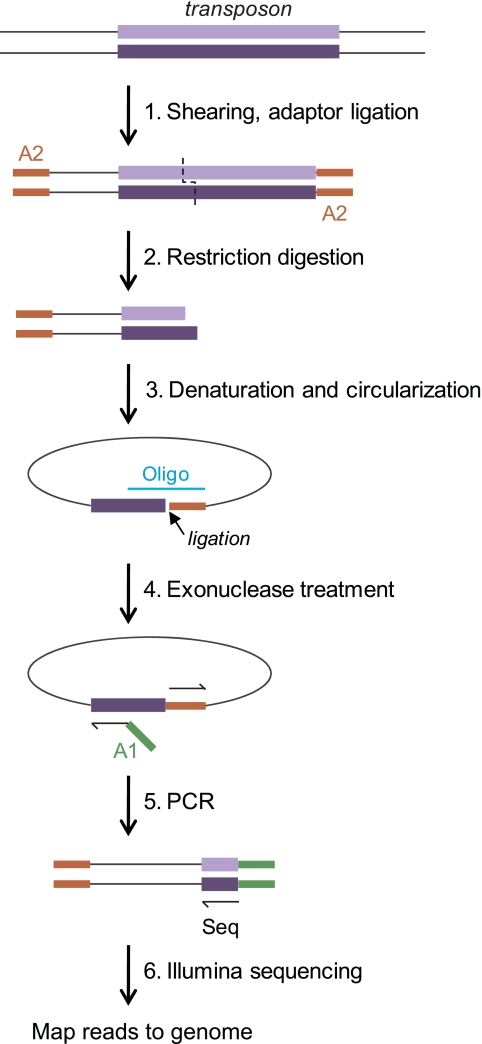Tn-seq circle method. The steps used to amplify and sequence transposon insertion junctions are illustrated, beginning with a DNA fragment carrying a transposon insertion (top). First, total DNA from a mutant pool is sheared and end repaired, and one Illumina adaptor (A2) is ligated to all free ends (step 1). The sample is then digested with a restriction enzyme that cuts near one transposon end (in this work, BamHI, which cuts 114 bp from the transposon's left end) (step 2). Following a size selection step, single-strand fragments which include the transposon end are circularized by templated ligation (step 3). Oligo, oligonucleotide. Fragments which have not circularized (representing most of the DNA in the sample) are degraded in a subsequent exonuclease step (step 4). The transposon-genome junctions from the circularized fragments are then amplified by quantitative PCR in a step in which the second required Illumina adaptor (A1) is introduced (step 5). The products are sequenced on an Illumina flow cell using a sequencing primer corresponding to the transposon end (Seq), and each sequence read is then mapped to the genome (step 6).