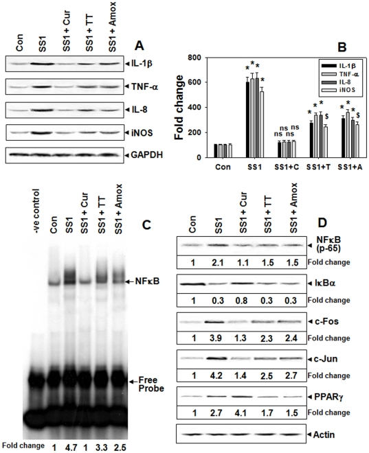 Regulation of MMP-3 and -9 via NF-kB dependent mechanism by curcumin-therapy in Hp-infected mice. Two weeks SS1-infected mice groups were treated with curcumin or TT or only-antibiotics for 7-days and the expressions of IL-1β, TNF-α, IL-8, and iNOS proteins were assessed by Western blot ( A ). Histographic representation of protein fold changes from the above blots and two other representative blots from independent experiments ( B ). Error bars = ±SEM. *, p